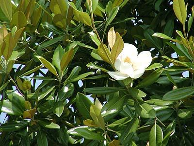 http://had0.big.ous.ac.jp/plantsdic/angiospermae/dicotyledoneae/choripetalae/magnoliaceae/taisanboku/taisanboku1.jpg
