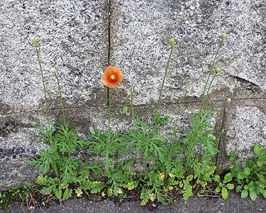 http://had0.big.ous.ac.jp/plantsdic/angiospermae/dicotyledoneae/choripetalae/papaveraceae/nagamihinagesi/nagamihinagesi04.jpg