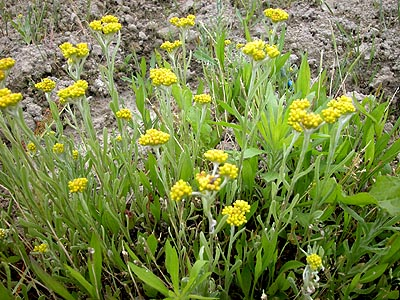 放棄水田に咲くハハコグサ