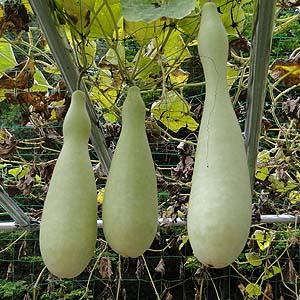 ヒョウタン Lagenaria siceraria var