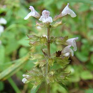イヌトウバナ Clinopodium micra...