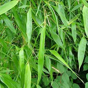 マダケ Phyllostachys bambusoid...